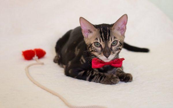Бенгальский кот «МАКС»